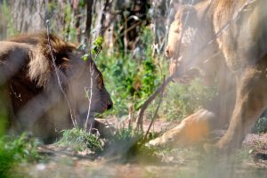 African Lions - Protecting Her Domain